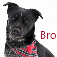 Adopt A Pet :: Bro - Hamilton, MT