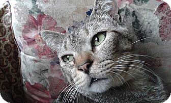 Domestic Shorthair Cat for adoption in Ocala, Florida - Lester