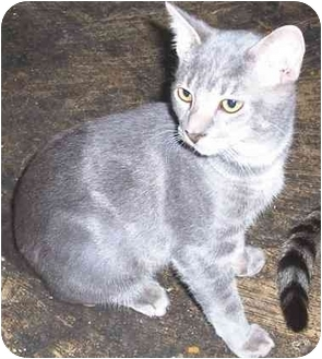 Domestic Shorthair Cat for adoption in Goldsboro, North Carolina - Lil' B