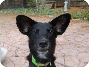 Shepherd (Unknown Type)/Border Collie Mix Dog for adoption in Marlton, New Jersey - Queen Herra