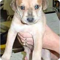 Adopt A Pet :: GOLDIE - dewey, AZ