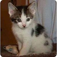 Adopt A Pet :: Ozo - Reston, VA