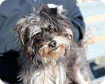 Yorkshire Terrier Nj Jennifer   Adop...