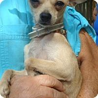 Adopt A Pet :: T-Cup - Plainfield, CT