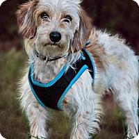 Adopt A Pet :: CJ - Westminster, MD