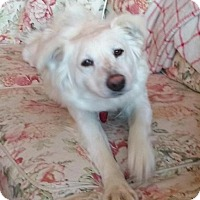 Adopt A Pet :: Dazzle - Enfield, CT