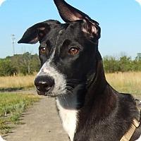 Adopt A Pet :: Gobi - Alexandria, VA