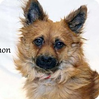 Pomeranian Mix Dog for adoption in Kalamazoo, Michigan - Simon