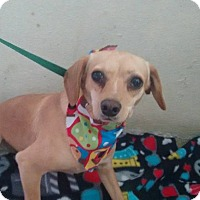 Adopt A Pet :: Latte - San Diego, CA