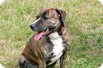 Mountain Cur Mix Dog for adoption in Salem, New Hampshire - LOLA