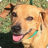 Dachshund Mix Dog for adoption in Lexington, Kentucky - Hank