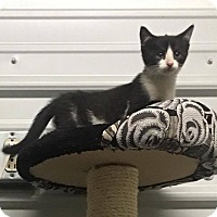 Domestic Shorthair Kitten for adoption in Covington, Virginia - Ariana