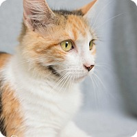 Domestic Mediumhair Kitten for adoption in Fort Collins, Colorado - Mosaic