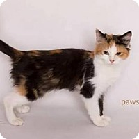 Siberian Kitten for adoption in Yucca Valley, California - BEAN
