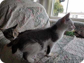 Japanese Bobtail Kitten for adoption in El Cajon, California - Bobbi