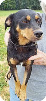 Dachshund/Beagle Mix Dog for adoption in Westminster, Maryland - Oscar