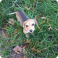 Adopt A Pet :: Bagel - Sacramento, CA