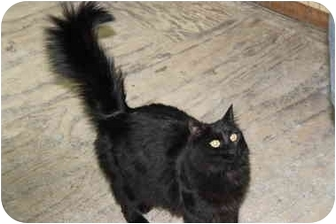 Domestic Mediumhair Cat for adoption in Berkeley Hts, New Jersey - Mia