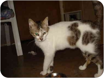 Domestic Shorthair Cat for adoption in Tomball, Texas - Spots