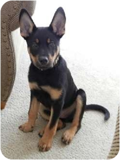 German Shepherd Dog Doberman Pinscher Mix Puppy for adoption in    Doberman German Shepherd Puppy