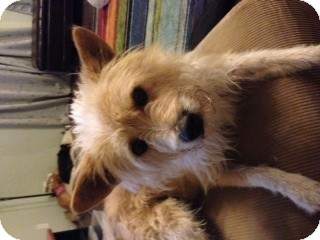 Cairn Terrier/Terrier (Unknown Type, Small) Mix Dog for adoption in Westley, California - Scruffy