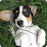 Adopt A Pet :: Sirtaki - Novi, MI