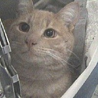 Domestic Shorthair Cat for adoption in Beacon, New York - Ben