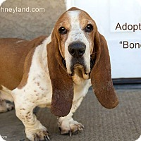 Adopt A Pet :: BoneZ - Acton, CA