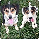 Adopt A Pet :: Aussie