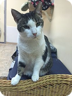 American Shorthair Cat for adoption in levittown, New York - JULIETTE