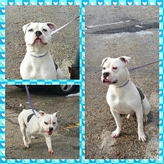 American Bulldog Dog for adoption in Godfrey, Illinois - Leo