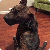 Adopt A Pet :: Bindi - Des Peres, MO