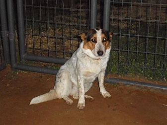 Blue Heeler/Corgi Mix Dog for adoption in Anton, Texas - Sassafrass