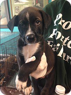 Labrador Retriever Mix Puppy for adoption in Dallas, Texas - Tanner