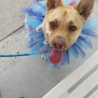 Adopt A Pet :: Nala - Seattle, WA