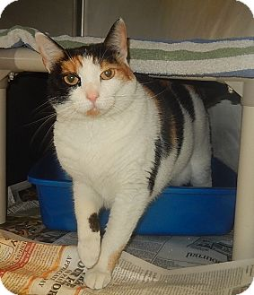 Domestic Shorthair Cat for adoption in Newport, North Carolina - Cookie