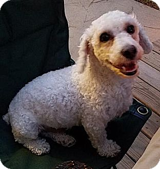 Poodle (Miniature) Mix Dog for adoption in Alpharetta, Georgia - Scottsman