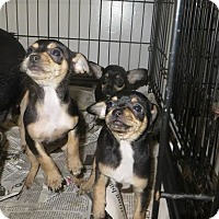 Adopt A Pet :: Posey - Alexandria, VA