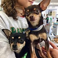 Adopt A Pet :: Hallie - Monrovia, CA