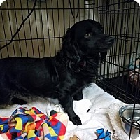 Adopt A Pet :: SAWYER - Lubbock, TX