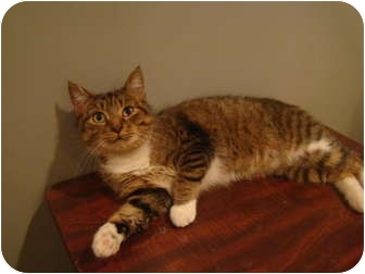 Domestic Shorthair Cat for adoption in Muncie, Indiana - Trudy