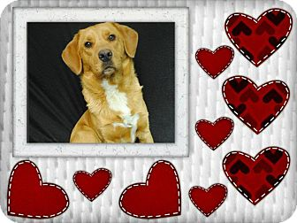 Golden Retriever/Basset Hound Mix Dog for adoption in Somers, Connecticut - Valentine
