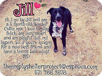 Border Collie/Labrador Retriever Mix Puppy for adoption in Manassas, Virginia - Jill