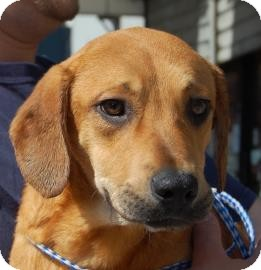 Labrador Retriever Mix Puppy for adoption in Brooklyn, New York - Dusty