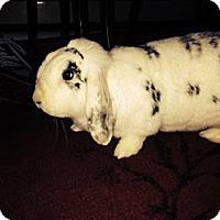 Adopt A Pet :: Buns and Hazel - Conshohocken, PA
