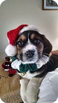 Beagle Mix Puppy for adoption in Forest Hill, Maryland - Hermey