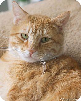Domestic Shorthair Cat for adoption in St Louis, Missouri - Sebastian