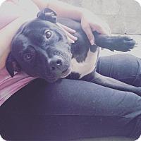 Adopt A Pet :: SPOT - Pompton Lakes, NJ