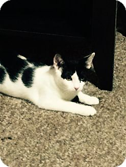 Turkish Van Kitten for adoption in Cerritos, California - Ruby kitty