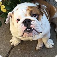 Adopt A Pet :: Nugget - Park Ridge, IL